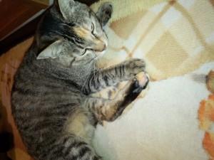 次女・マリモ(日本猫 キジトラ♀)