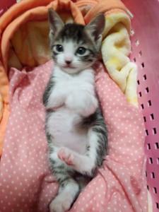 大地(日本猫 キジ白♂)