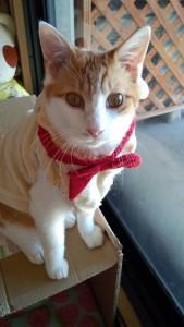 二代目レオ(日本猫 茶白♂)