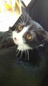 リンリン(日本猫 白黒パンダ猫♀)