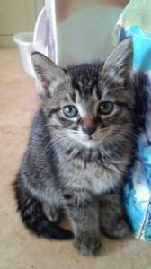 アルル(日本猫 キジトラ♀)